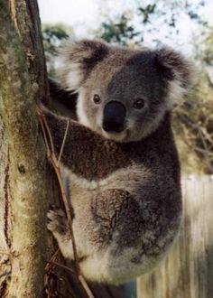 Koalas - Koala bears- My brother Chase's Spirit animal. (said by Haley) - Cute Creatures, Beautiful Creatures, Animals Beautiful, Animals And Pets, Baby Animals, The Wombats, Baby Koala, Australia Animals, Koalas