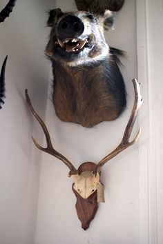 Fallow Deer antlers on wooden plaque. Mandibles, Cape Town