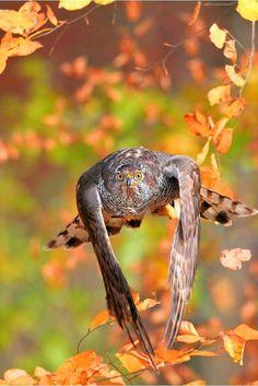 Hawk of Prey Pretty Birds, Beautiful Birds, Animals Beautiful, All Birds, Birds Of Prey, Unique Animals, Cute Animals, Northern Goshawk, Big Bird