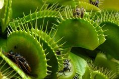The Venus flytrap (Dionaea muscipula); When an insect (or toothpick) touches one of the three fine hairs on one of its leaves three times it suddenly closes to capture its prey.