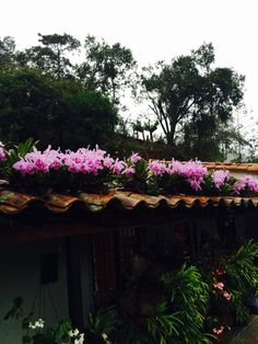 Orquideas catleya
