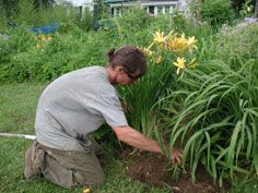 Yellow Daylily Care.  Very Good Q & A's.