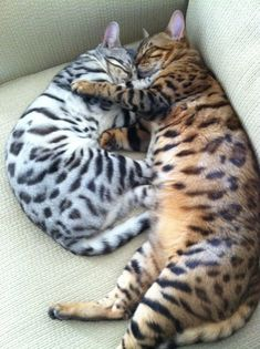 Bengal cats- only cat I would ever think about getting! So pretty