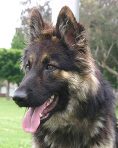 Long Haired Sable German Shepherd Google Search