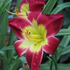 Gasteria disticha Planta Alocasia, Aloe, Plant Identification, Day Lilies, Orange Flowers, Red And Pink, Perennials, Christmas, Gardening