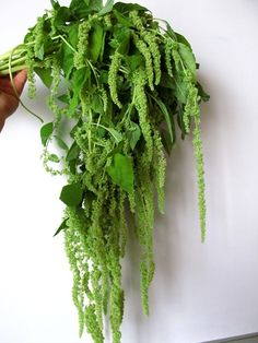 Amaranthus Hanging  - Amaranthus - Flowers and Fillers - Flowers by category | Sierra Flower Finder