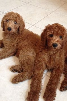 Red Standard Poodle Pups. Madeline and Genevieve  my babies.