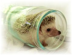 hedgehog comes in a jar!