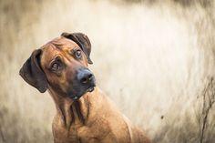 Rhodesian by Roman Franěk. Basset Hound, Beagle, I Love Dogs, Cute Dogs, Basset Artesien Normand, Griffon Nivernais, Grand Basset Griffon Vendeen, Spaniel Puppies For Sale, Lion Dog