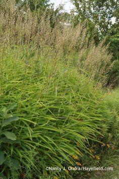 Frost grass (Spodiopogon sibiricus) | Warm season, green foliage, 3' x 4' with flower, part shade, moist, flowers midsummer, Zones 4-8, Origin: Asia