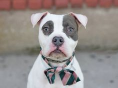 Brooklyn Center  ZOIE - A1031419  FEMALE, WHITE / GRAY, AMER BULLDOG, 1 yr OWNER SUR - EVALUATE, NO HOLD Reason LLORDPRIVA Intake condition UNSPECIFIE Intake Date 03/27/2015, From NY 11236, DueOut Date 03/27/2015,  Medical Behavior Evaluation GREEN Medical Summary SCANNED NEGATIVE FEMALE 1 YEAR OLD ~ PHYSICAL EXAM EETN-NO EYE OR NASAL DISCHARGE -EARS WNL SKIN-NO FLEAS NOTED (ACTIVYL APPLIED) ALLOWS HANDLING, NO SIGN OF AGGRESSION AND VERY SWEET BARH NOSF Weight 33.4