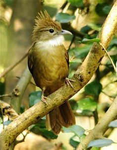 Ochraceous Bulbul. Burung, Indonesia