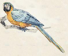 Hyacinth macaw, birds animals antique ilustration stock illustration 61773342 - iStock
