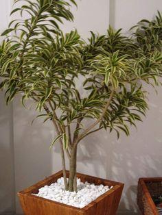 Pleomele é uma das plantas para decorar o apartamento com muita elegância e bom gosto