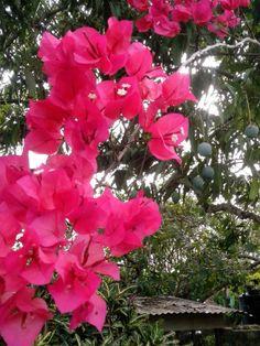 Bougainvillea - in the background a mango tree