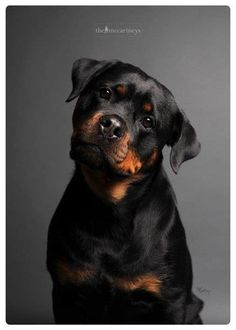 "Rottweiler - ""I can't understand the words that are coming out of your mouth"" (in a Jackie Chan accent) ;) Rotties are so attentive!"