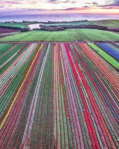 Amazing drone shot of the tulip fields in Tasmania, Australia Perth, Brisbane, Melbourne, Beautiful World, Beautiful Places, Tasmania Travel, Birds Eye View, Australia Travel, Queensland Australia