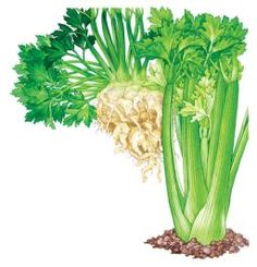 All About Growing Celery