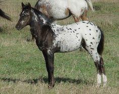 POA   Pony of the Americas