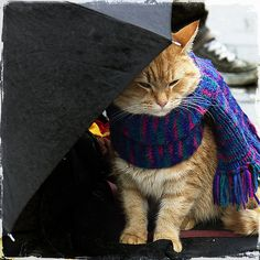Street cat Bob all wrapped up in his scarf getting shelter under a brolly I Love Cats, Crazy Cats, Cute Cats, Funny Cats, A Cat Named Bob, Street Cat Bob, Gatos Cat, Animal Gato, How To Cat
