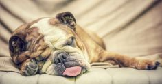 We're here to get to the bottom of this stinky subject. Wondering why dogs fart and how you can help? For a complete and comprehensive guide to canine flatulence, look (and smell) no further. Dog Farts, Napping At Work, Weird Dreams, Crazy Dreams, Sweet Dreams, Sleeping Dogs, Take A Nap, Boxers, Dog Training