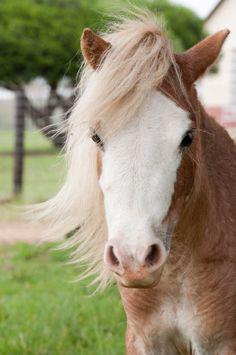 beautiful mini horse | Beautiful, Soft Natured Miniature Horse for Sale!