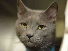 TO BE KILLED 04/10/15 –  RUDYARD – A1031550 – MANHATTAN, NY PLEASE SHARE, PLEDGE, FOSTER!! HIS HANDSOME LIFE HANGS IN THE BALANCE!! <3