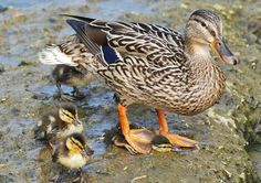 Ducks are great mothers - Imgur