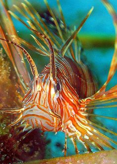 Lionfish are beautiful, yes but NOT when they are invasive as they are here in FL http://myfwc.com/wildlifehabitats/nonnatives/marine-species/lionfish/