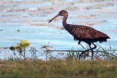 Sandhill Crane at Fox Lake Park, Titusville Florida.