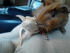 This picture is too adorable to handle!! A beardie and a guinea pig, I'm in love!!!