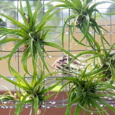 A modern, almost-invisible display for your air plants — using just a few supplies from the hardware store.
