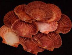 50 Mexican FLAT Scallop Shells Craft SHELL saliors valentine Beach Wedding craft