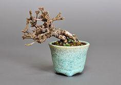 ガマズミ-J1(がまずみ・雲南莢迷)実もの盆栽の販売、Bonsai Shop