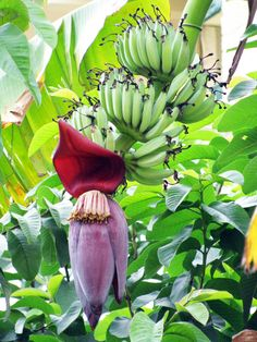 Beautiful banana flower...