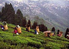 Tea pickers in Darjeeling ...Lady Julia Grey Deanna Rayburn