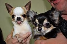 Chihuahuas!!!! Cute