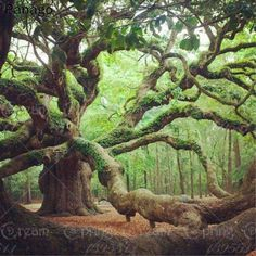 Wonderful old tree! The beautiful ancient Angel Oak Tree in Angel Oak Park, on Johns Island, Southern Carolina. this Oak tree is well over 1800 yrs old. Angel Oak Trees, Tree Angel, Nature Green, Johns Island, Unique Trees, Old Trees, Tree Branches, Old Oak Tree, Tree Forest