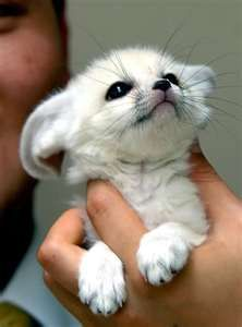 Baby Arctic fox are one of the predators of the Arctic but eat small animals. They hide in the snow while in danger.