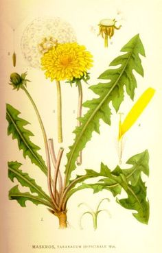 So many herbs, so little garden. Must have, Must grow Medicinal Herbs Dandelion Plant, Plant Leaves, Taraxacum Officinale, Flora, Planting For Kids, Chicken Painting, Paper Wall Art, Poster Prints, Art Prints