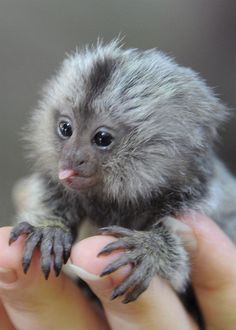 marmoset with cute tiny tongue Cute Baby Monkey, Pet Monkey, Felt Animals, Animals And Pets, Funny Animals, Marmoset Monkey, Pygmy Marmoset, Worlds Cutest Animals, Paws And Claws