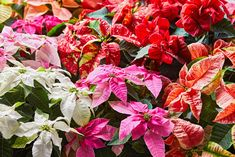 We've got all the tips you need for keeping these colorful plants looking their best through the entire holiday season and beyond. And you can even try getting them to rebloom next year. Christmas Flowers, Christmas Decorations, Christmas Trees, Diy Christmas, Merry Christmas, Colorful Plants, Green Plants, Container Gardening, Gardening Tips