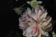 Faded coral charm peony by sarah winward.