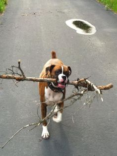 """I got me a big one!"" ~ re-pinned by boxerdogchecks.com ~ boxer stationery, gifts, and home decor."