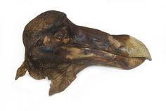 dodo beaks -