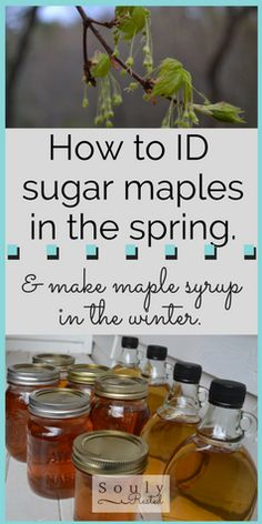 Identify Sugar Maple Trees in the Spring | homesteading | homeschooling | living simply | SoulyRested.com
