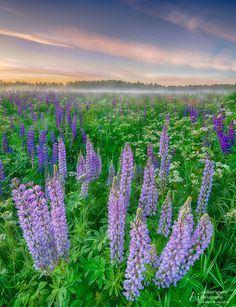 Endless fields of lupine - Wonderful field of lupine photographed on samyang Leningrad, Russia Fields, Vineyard, Sunset, Places, Nature, Russia, Outdoor, Sunsets, Outdoors
