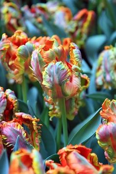 Rainbow Tulips | Bought these this year.