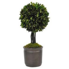 Preserved boxwood topiary in a clay pot.