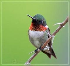 humming bird - Bing Images